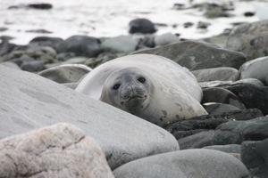 mikkelsen harbor, antarctica, weddell seal