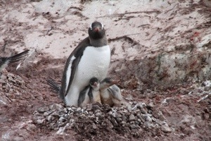 cuverville island, antarctica, gentoo penguin and babies
