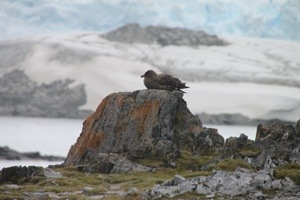 torgersen island, antarctica, kelp gull