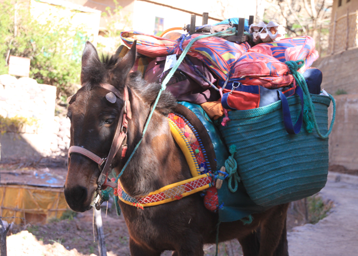 mule packed for tizi mzik summit