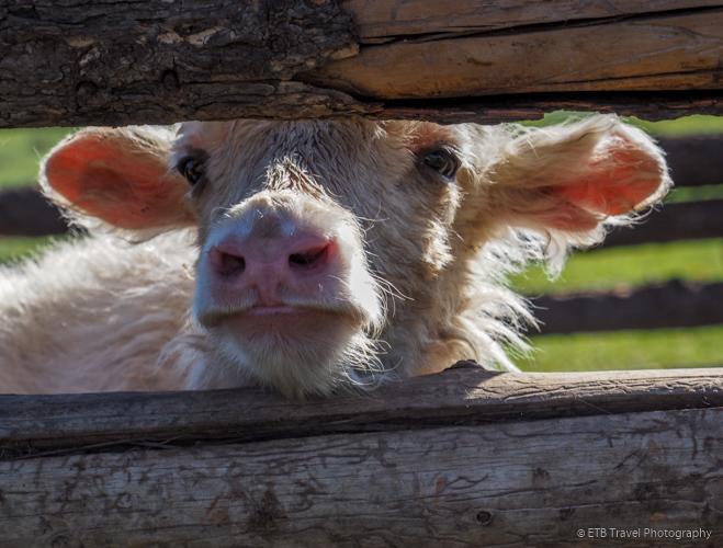 baby yak in mongolia