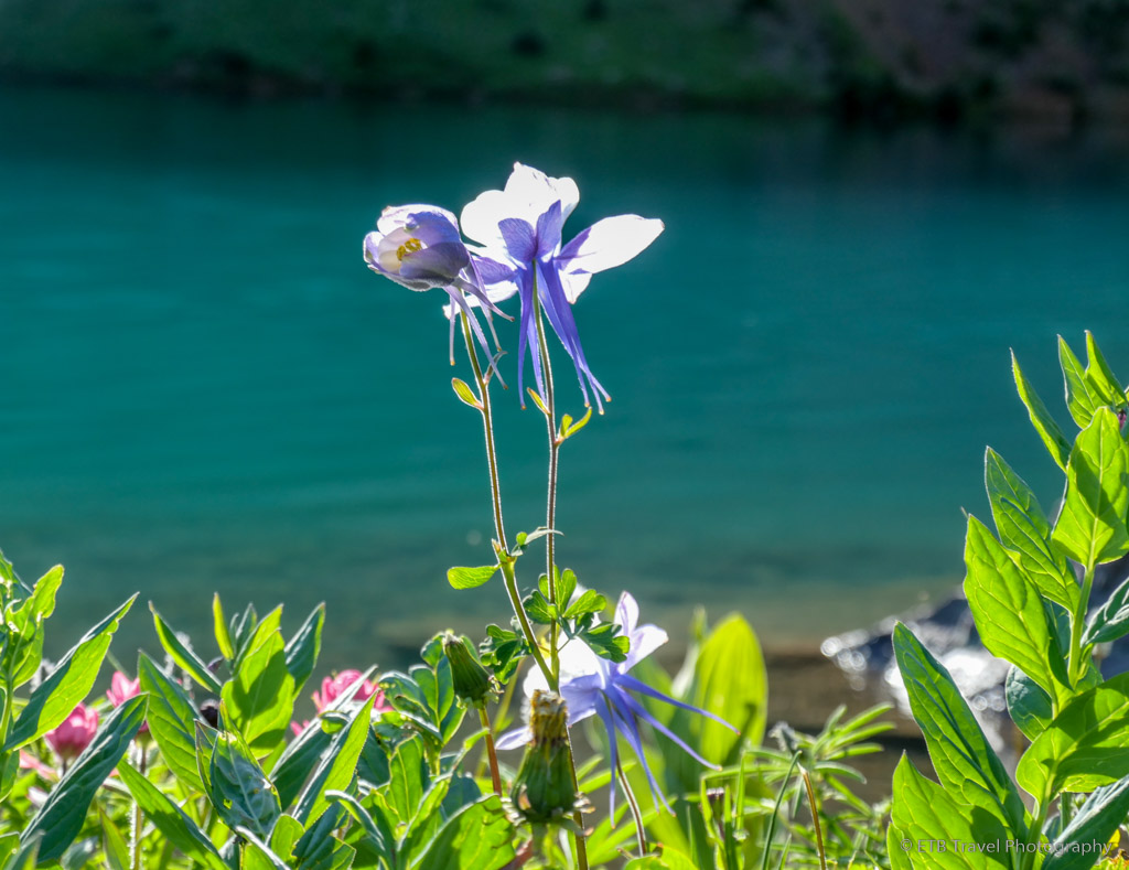 blue columbine with blue lake in background