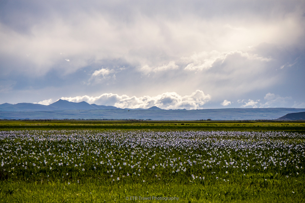 camas lilies at camas prairie centennial marsh wma